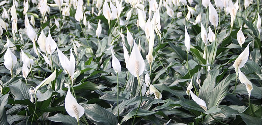 Peace Lily Costa Farms