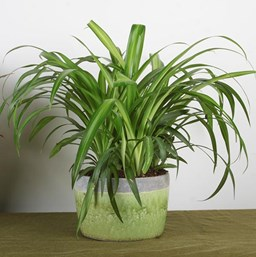 Spider Plant   Costa Farms on spider plant care tips, spider plant light, spider eating food, tall spider plant, spider plant on a stick, spider infestation in home, spider plants outside, spider plant poisonous, spider plant varieties, spider plant roots, houseplants plant, rare spider plant, spider grass plant, spider plant care indoor, snake plant, spider plant toxic to dogs, spider flowering plant, spider plant in the wild, aloe vera plant,