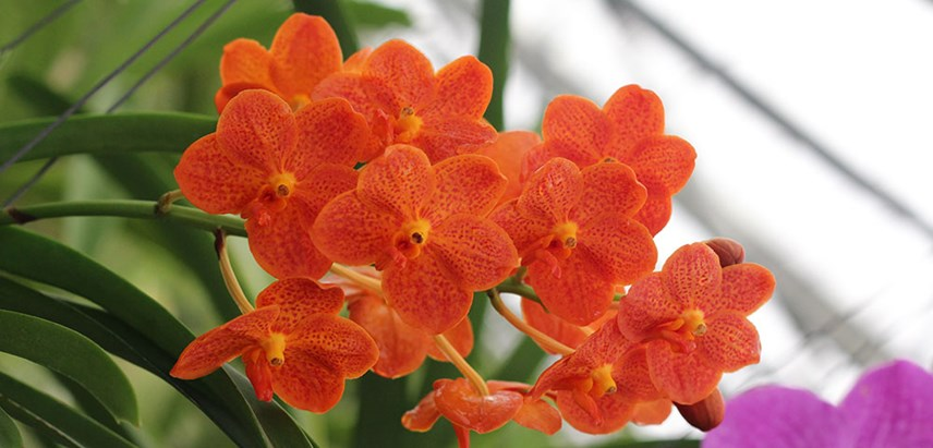 Photos Of Vanda Orchid