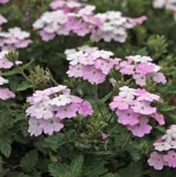 Verbena 'EnduraScape White Blush'