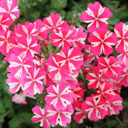 Verbena 'Lanai Red Star'