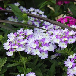 Verbena 'Wicked Blue'