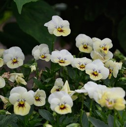 Viola 'Bel Viso Pineapple Crush'