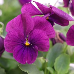 Viola 'Cool Wave Purple'
