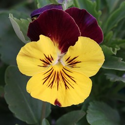 Viola 'Cool Wave Sunshine 'N Wine'