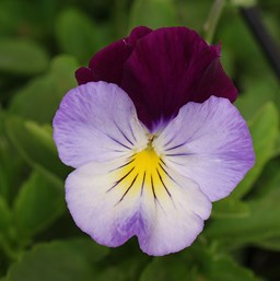Viola 'Cool Wave Violet Wing'