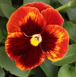 Viola 'Matrix Red Blotch'