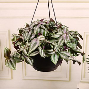Exotic Angel | Costa Farms on indoor house plants yellow leaves, purple passion velvet plants leaves, indoor plants purple passion vine, indoor orchid plant flowers,
