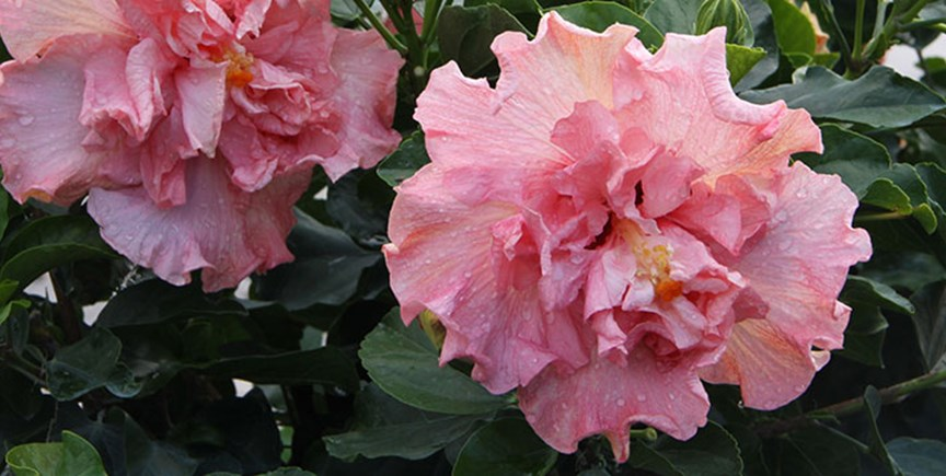 Winter Hibiscus Care Tips Costa Farms