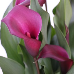 Zantedeschia 'Callafornia Night Life'