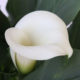 Zantedeschia 'Callafornia Ice Dancer'