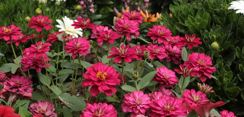 Zinnia - Summer Annual Flower from Costa Farms