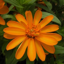Zinnia 'Profusion Orange'