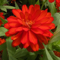 Zinnia marylandica 'Zahara Double Fire'