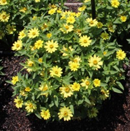 Zinnia marylandica 'Zahara Yellow'