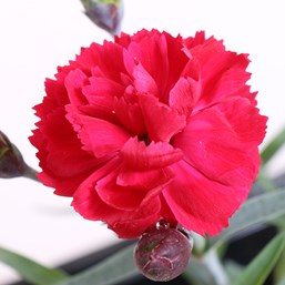 Dianthus 'Early Bird Radiance'
