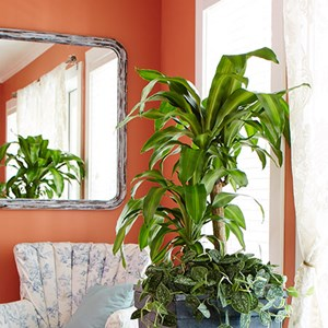 How to Care for Your Dracaena Dracaena Care Plant Care