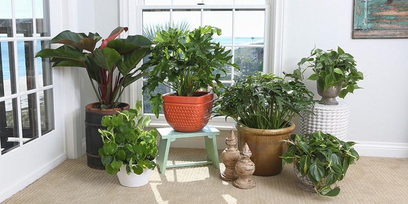 Philodendron spp