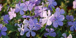 A Fantastic and Fragrant Phlox for Spring