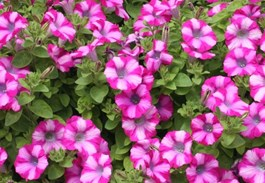 Color Commentary: Using Pink Flowers in the Garden