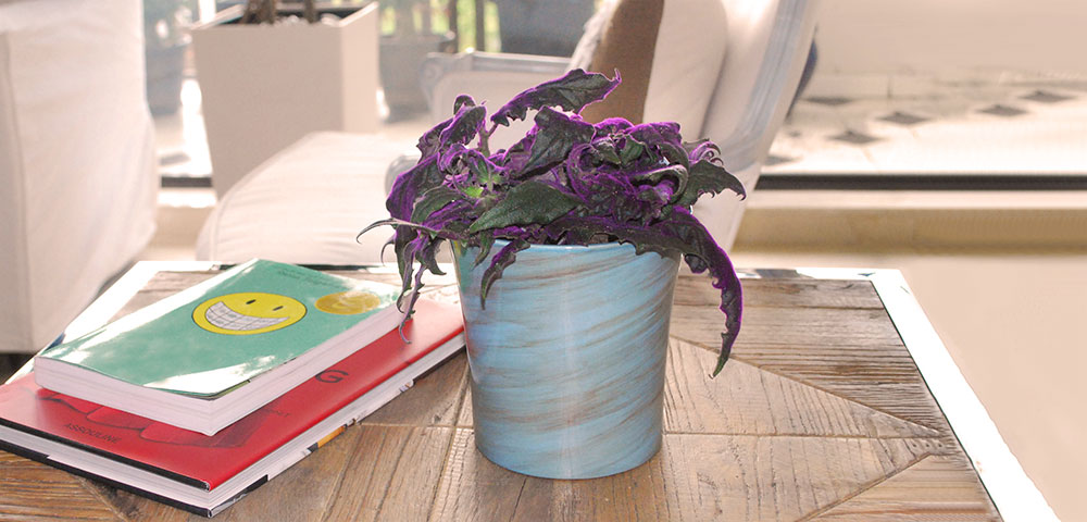 Image gallery indoor foliage plants purple for How to take care of exotic angel plants