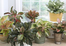 Easy and Beautiful Colorful Aglaonema