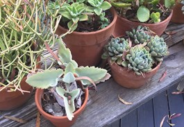 Moving Succulents Indoors for Winter