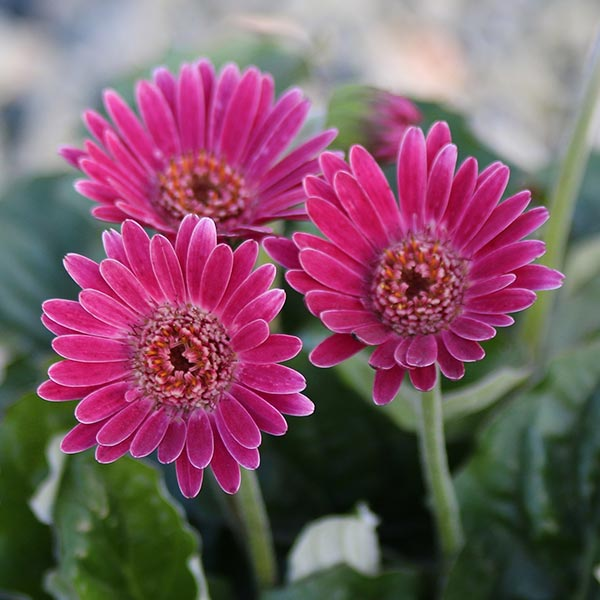 Gerbera Garvinea by Costa Farms