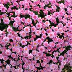 Season by season guide to perennial flowers costa farms autumn is an ideal time to renew your perennial garden by adding new plants and rejuvenating the old first clip back established plants after frost has mightylinksfo