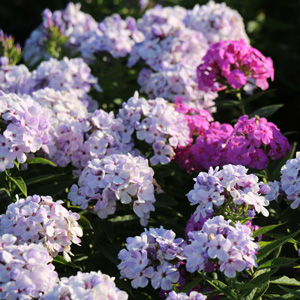 Plant Perennials in Fall for a Bigger Spring and Summer