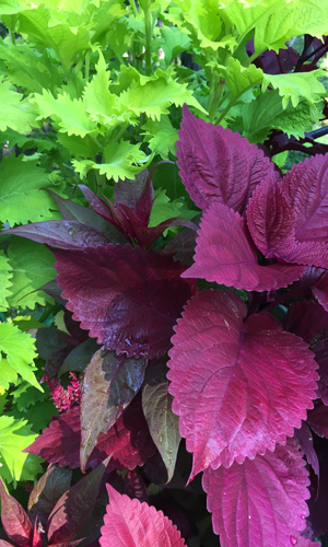 Get Big Color In Sun Or Shade With Coleus Costa Farms
