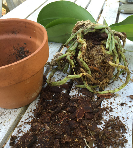 How To Repot A Moth Orchid Costa Farms