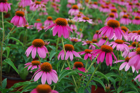 Perennials And Annuals What S The Difference Costa Farms