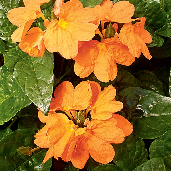 Long blooming florida perennials costa farms crossandra mightylinksfo