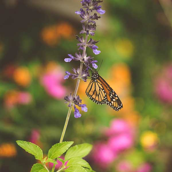 Monarch Butterfly on Salvia farinacea