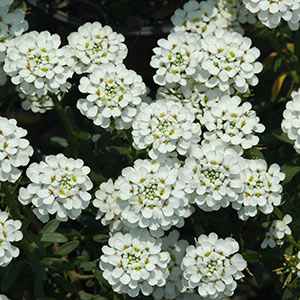 Perennial flowers bloom guide costa farms bloom time early spring mid spring light full sun water tolerates drought zones 3 8 blooms profusely perfect partner creeping phlox mightylinksfo