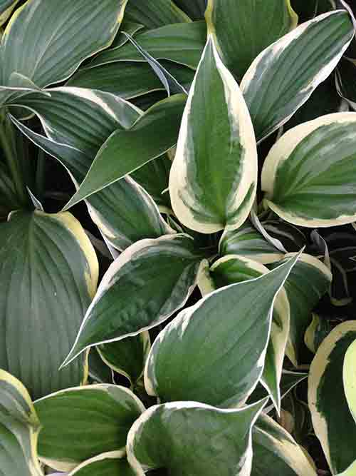 A Shoppers Guide To Buying The Best Hostas Costa Farms