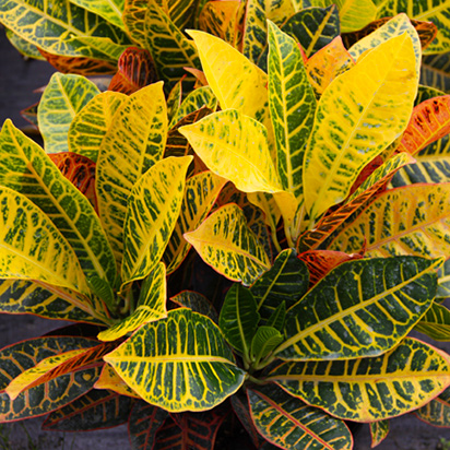 Costa-Farms-Colorful-Houseplant-Croton House Plant With Colored Leaves on house plant with red, house plants with waxy leaves, house plants with colorful leaves, annuals with colored leaves, tropical plants with colorful leaves, house plant with branches, tree with colored leaves, house plant identification, multi colored leaves, tropical plant with purple leaves, house plant with flowers, vegetable with colored leaves,