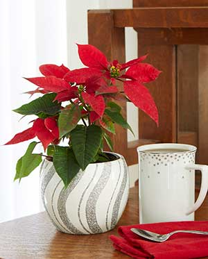 A Shoppers Guide To Buying Perfect Poinsettias Costa Farms
