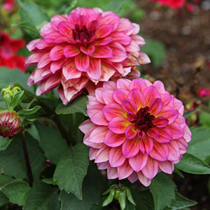 Annual flowers bloom guide costa farms bloom time late spring summer early autumn light full sun or part shade water keep soil moist attracts butterflies good cut flower mightylinksfo