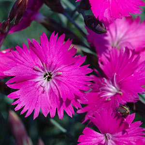 Perennial flowers bloom guide costa farms mightylinksfo