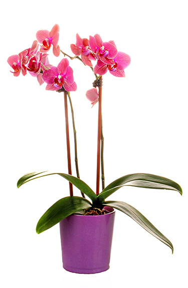 How To Make Your Orchid Last Costa Farms