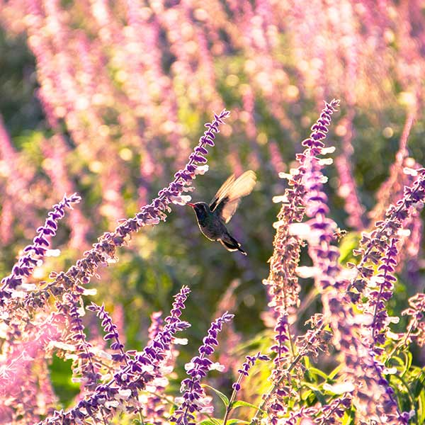 Hummingbird on Salvia leucantha