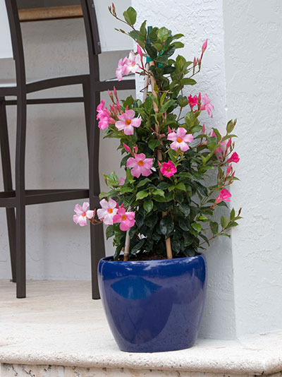 A Shoppers Guide To Mandevilla Costa Farms
