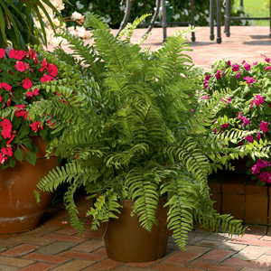 A Shopper S Guide To Buying Outdoor Ferns Costa Farms