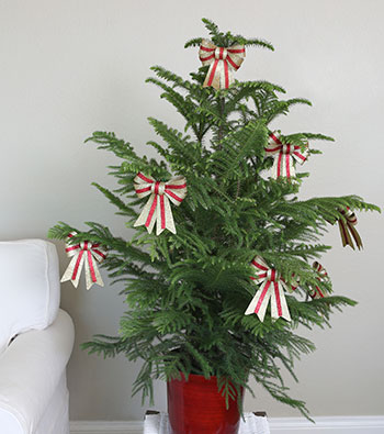 Norfolk Island Pine Indoors