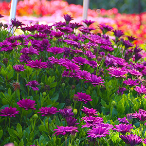 Annual Flowers Bloom Guide Costa Farms