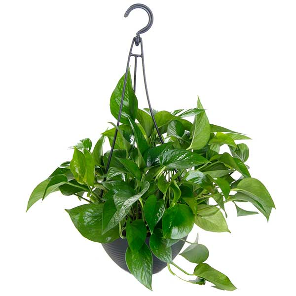 Jade Pothos - Costa Farms Nursery