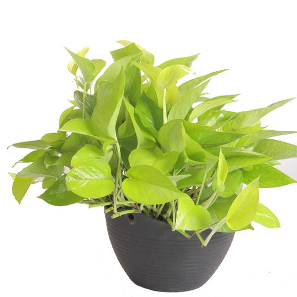 Neon Pothos- Costa Farms Nursery
