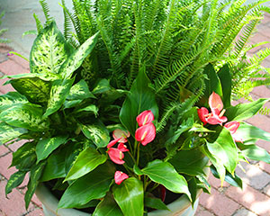 Use Containers of Houseplants Outdoors | Costa Farms on classic peace lily plant, chinese evergreen house plant, marginata house plant, dragon plant, weeping fig house plant, holly house plant, artificial bamboo house plant, peace lily family plant, black gold lily plant, problems with peace lily plant, white and green leaves house plant, peace lily potted plant, croton house plant, peace plant brown leaves, peace lily plant benefits, zamiifolia house plant, droopy peace lily plant, pineapple plant house plant, funeral peace lily plant, black bamboo potted plant,